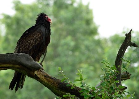 turkey vulture: Turkey Vulture perched on a tree branch in the rain.