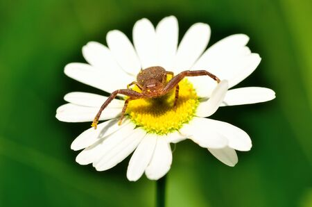 flower crab spider: A macro closeup of a Crab Spider perched on a flower. Stock Photo
