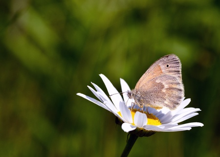ringlet: Common Ringlet Butterfly perched on a flower collecting pollen. Stock Photo