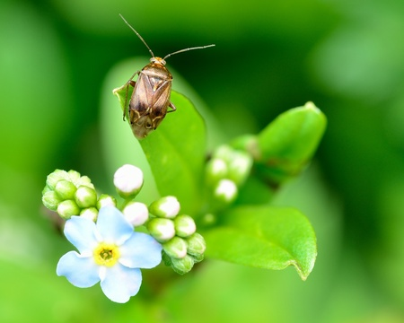 shield bug: Shield Bug perched on a forget me not flower.