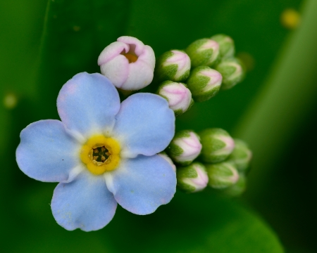 forget me not: Macro closeup of a Forget Me Not Flower.