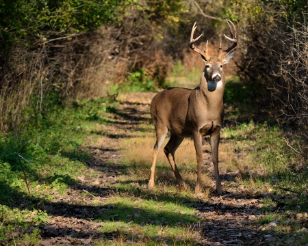 Whitetail Deer Buck standing on a path during the rutting season. Stock Photo