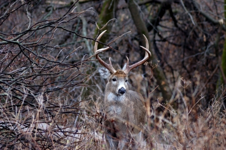 Whitetail Deer Buck standing next to a thicket in the rutting season. photo