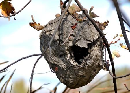 Vider frelons nid dans un arbre en automne eraly. Banque d'images - 15788178