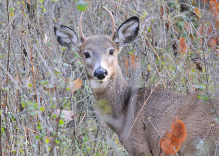 Whitetail Deer Buck standing in a woods. Stock Photo - 16319105