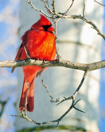 redbird: Male Cardinal perched on a tree branch.