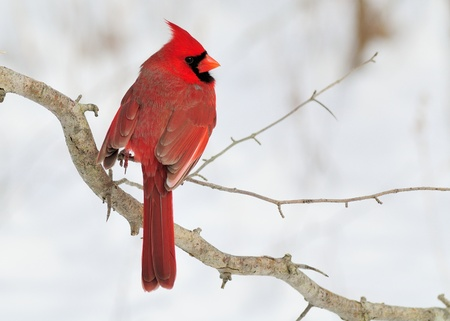 Male Cardinal perched on a tree branch.