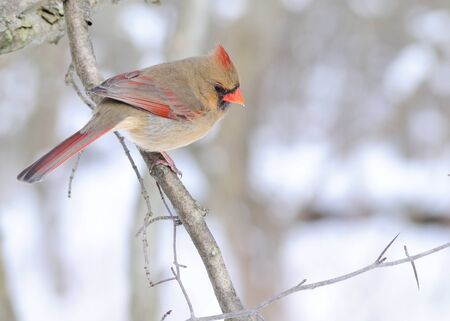 cardinal: Female Cardinal perched on a tree branch in the winter.
