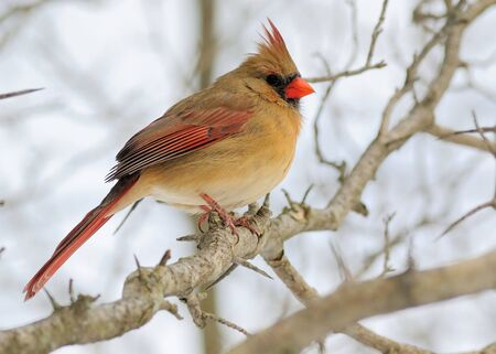 female cardinal: Female Cardinal perched on a tree branch in the winter.