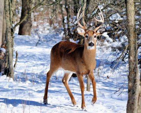 venado cola blanca: Venado cola blanca pelota de pie en un bosque.