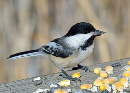 Black-capped Chickadee perched on a fence with bird seed. 免版税图像