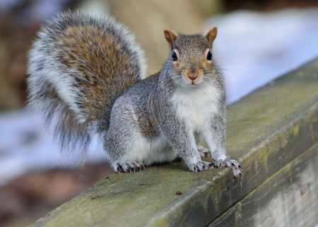 A Gray Squirrel perched on wood post. Stock Photo