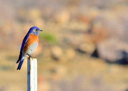 eastern bluebird: Eastern Bluebird perched on a post looking right. Stock Photo