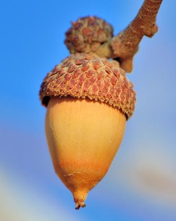 Colorado Scrub Oak Acorn against a blue sky. Banco de Imagens