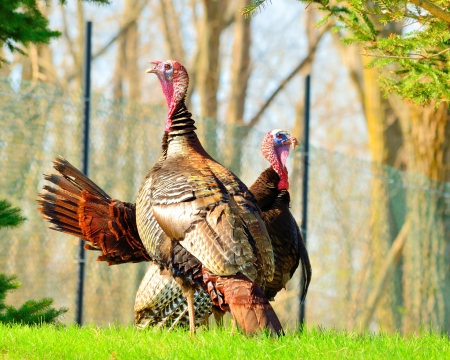 gobble: Wild Turkey strutting in the spring mating season for a female.