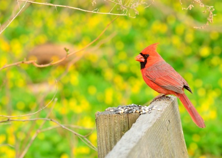 redbird: Male Cardinal perched on a fence with bird seed.