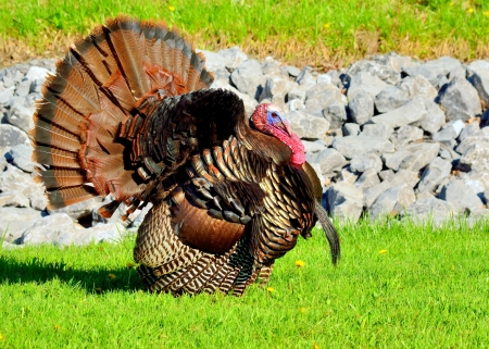 animal mating: Wild Turkey strutting in the spring mating season for a female.
