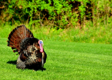 strutting: Wild Turkey strutting in the spring mating season for a female.