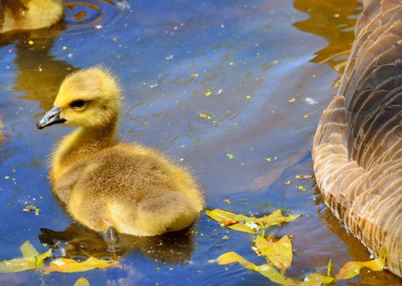 gosling: A Canada goose gosling sitting in a pond. Stock Photo