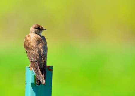Barn Swallow perched on a post against a green background. Imagens