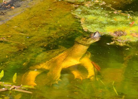 snapping turtle: Snapping Turtle in swamp floating near the surface. Stock Photo