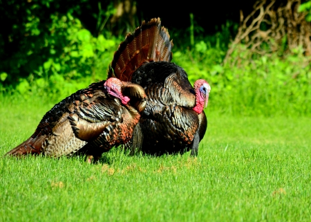 wild turkey: Wild Turkey strutting in the spring mating season for a female.