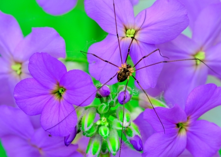 harvestman: Harvestman Spider perched on a purple flower.