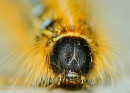 scourge: Closeup macro shot of a Tent Caterpillar crawling along a wooden plank.