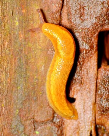 A garden Slug crawling along a tree trunk.