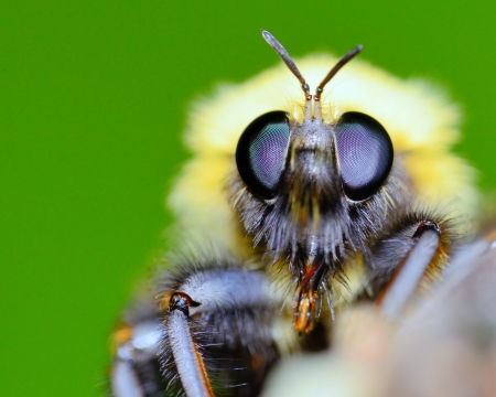 Bumble Bee perched on a plant leaf. Stock Photo