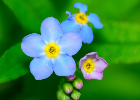 Macro closeup of a Forget Me Not Flower.