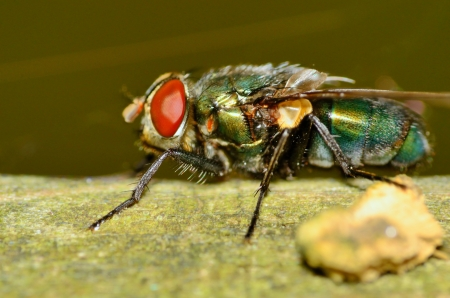A closeup macro shot of a green bottle fly.