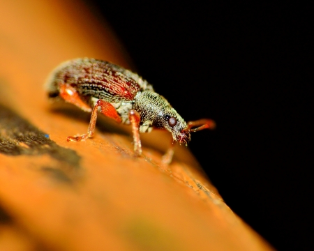 weevil: A Weevil perched on a wood plank.