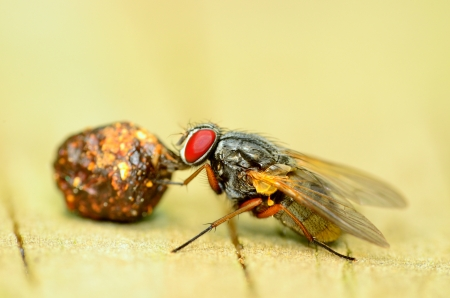 Macro closeup of a fly eating a dung ball.