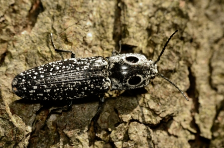 click beetle: Eyed Click Beetle perched on a tree trunk. Stock Photo