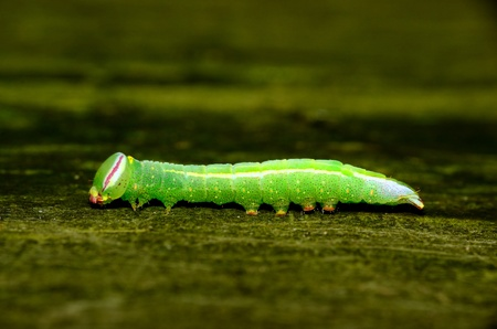 prominent: Saddled Prominent Caterpillar crawling along a wooden plank. Stock Photo