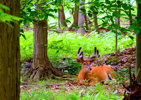 Whitetail Deer Buck In Velvet bedded down in the woods. photo