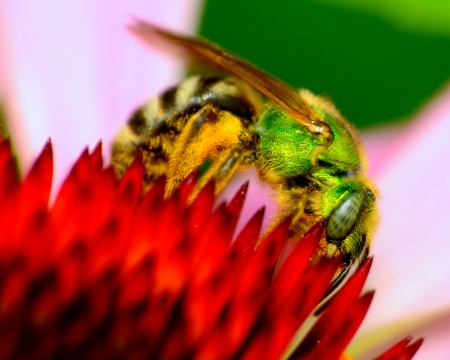 Green Metallic Bee perched on a flower collecting poleen. Фото со стока