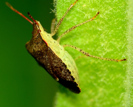 shield bug: Top view of a stink bug or shield bug perched on a plant stem.