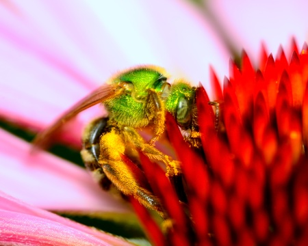 Green Metallic Bee perched on a flower collecting pollen.
