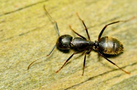 Carpenter Ant closeup macro shot crawling along a wooden plank.