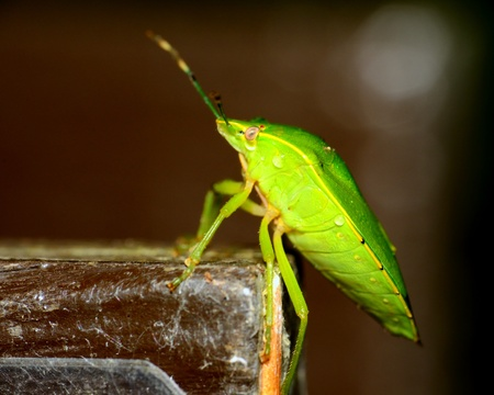 shield bug: Side view of a stink bug or shield bug.