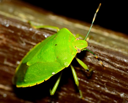 shield bug: Top view of a stink bug or shield bug.