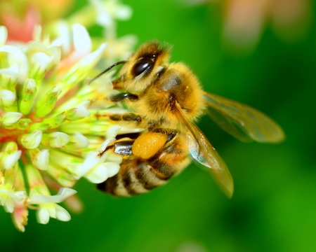 Honey Bee collecting pollen from a flower.