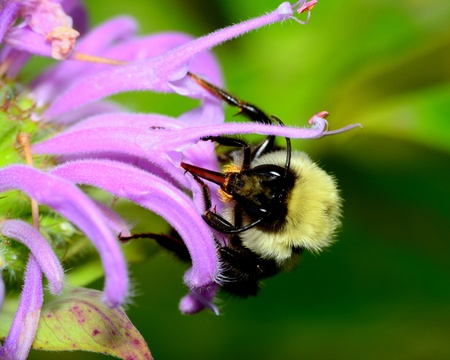 Bumble Bee perched on a flower collecting pollen. Stock Photo