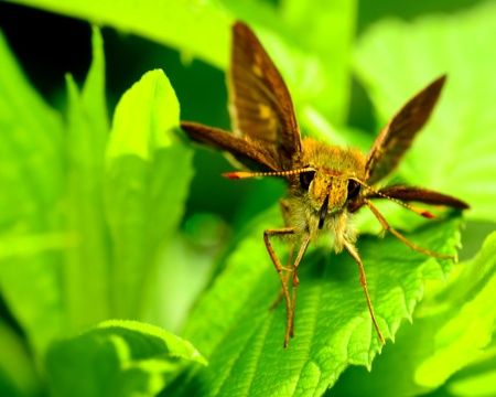 skipper: Skipper Butterfly perched on a plant leaf.