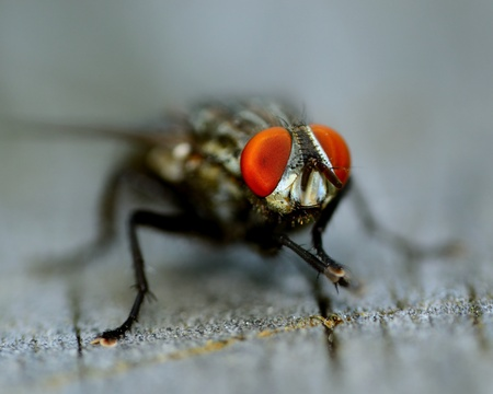 Macro closeup of a fly perched on a wooden plank.