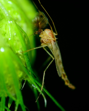 bloodsucker: A Mosquito perched on a plant leaf.