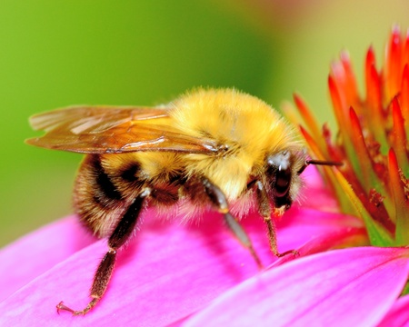 Bumble Bee perched on a flower top.