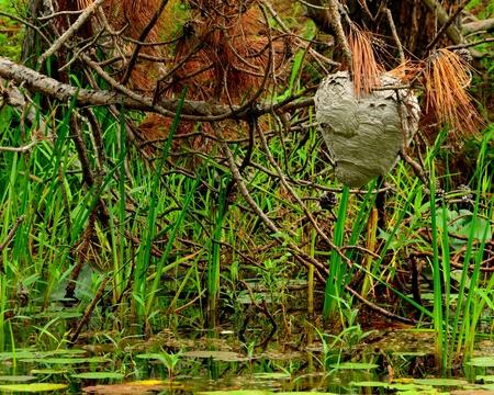 Hornets Nest accrochée à un arbre sur un marais dans les mois d'été. Banque d'images - 21264856